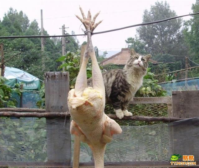 курица прикол